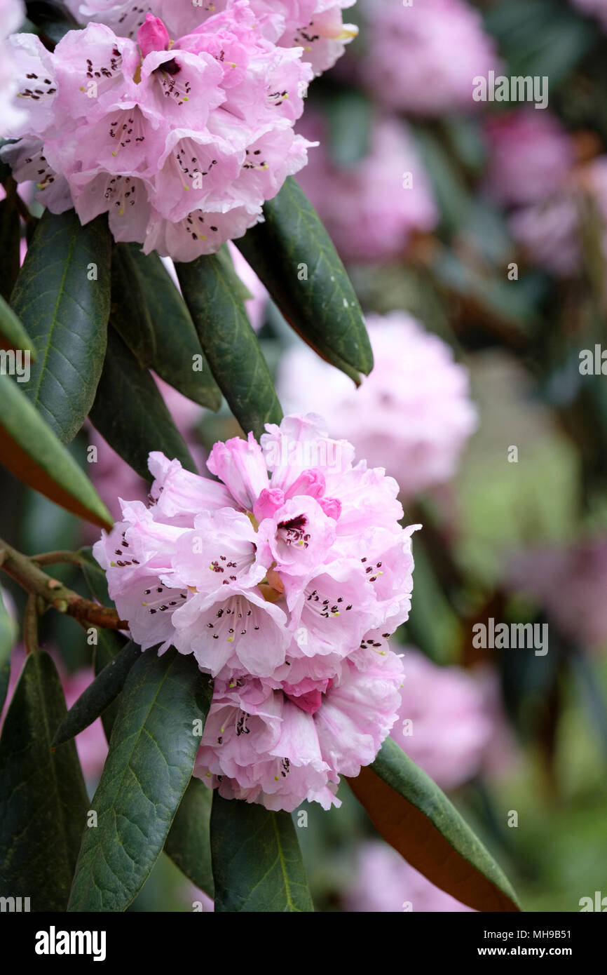 Cinnamon-coloured rhododendron, Rhododendron fulvum (sickle-capsule rhododendron) flowers, blooms, April. - Stock Image
