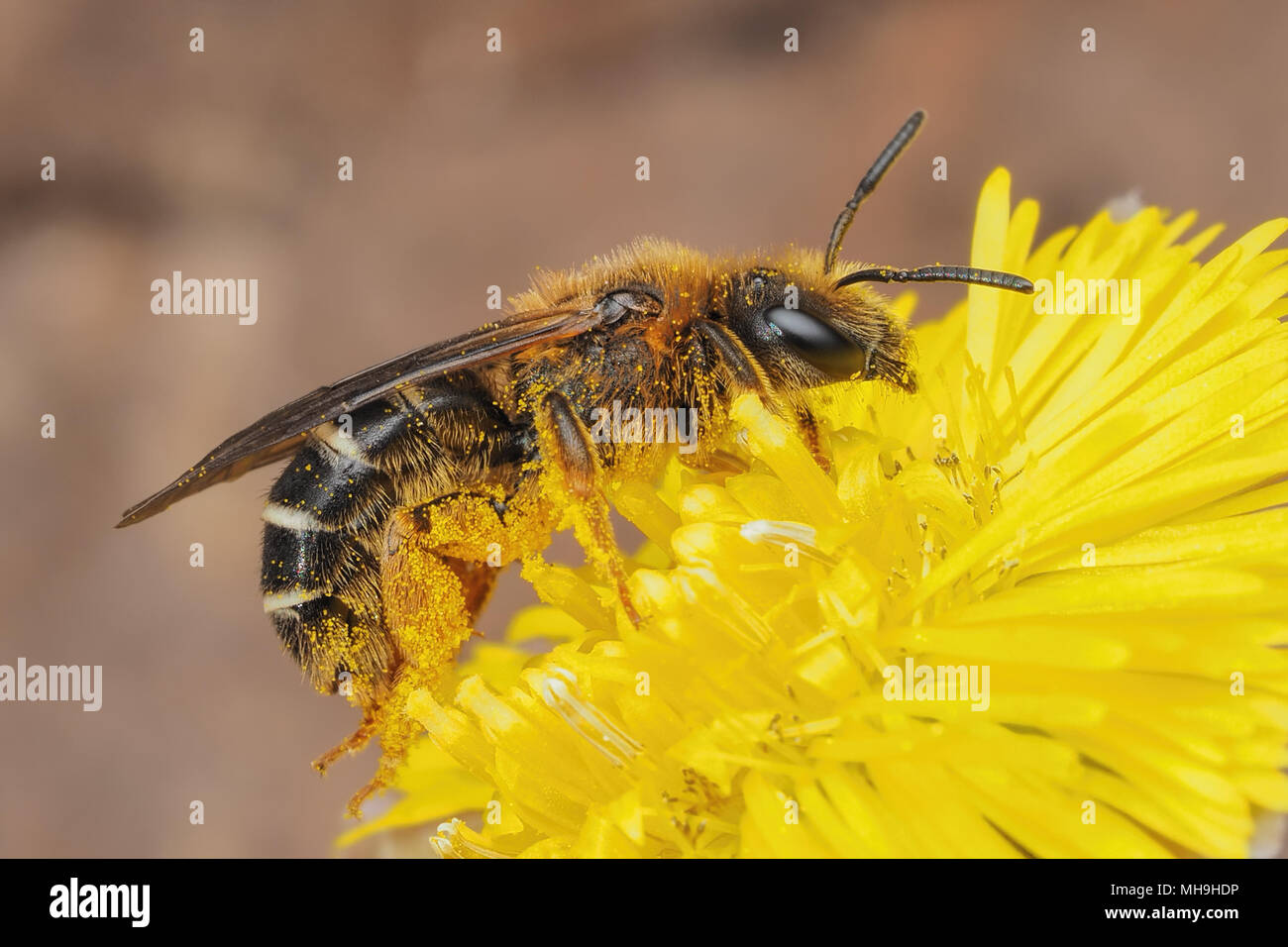 Sweat Bee (Halictus rubicundus) feeding on Coltsfoot flower. Tipperary, Ireland - Stock Image