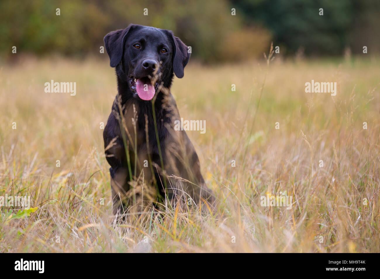 Black labrador retriever sitting on the autumn meadow Stock Photo
