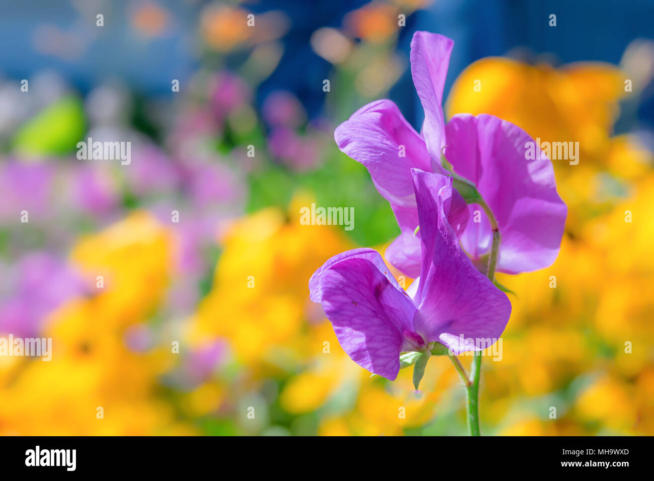 Purple sweet pea  flower photographed with a specialty lens to get shallow depth of field and dreamy background. Stock Photo