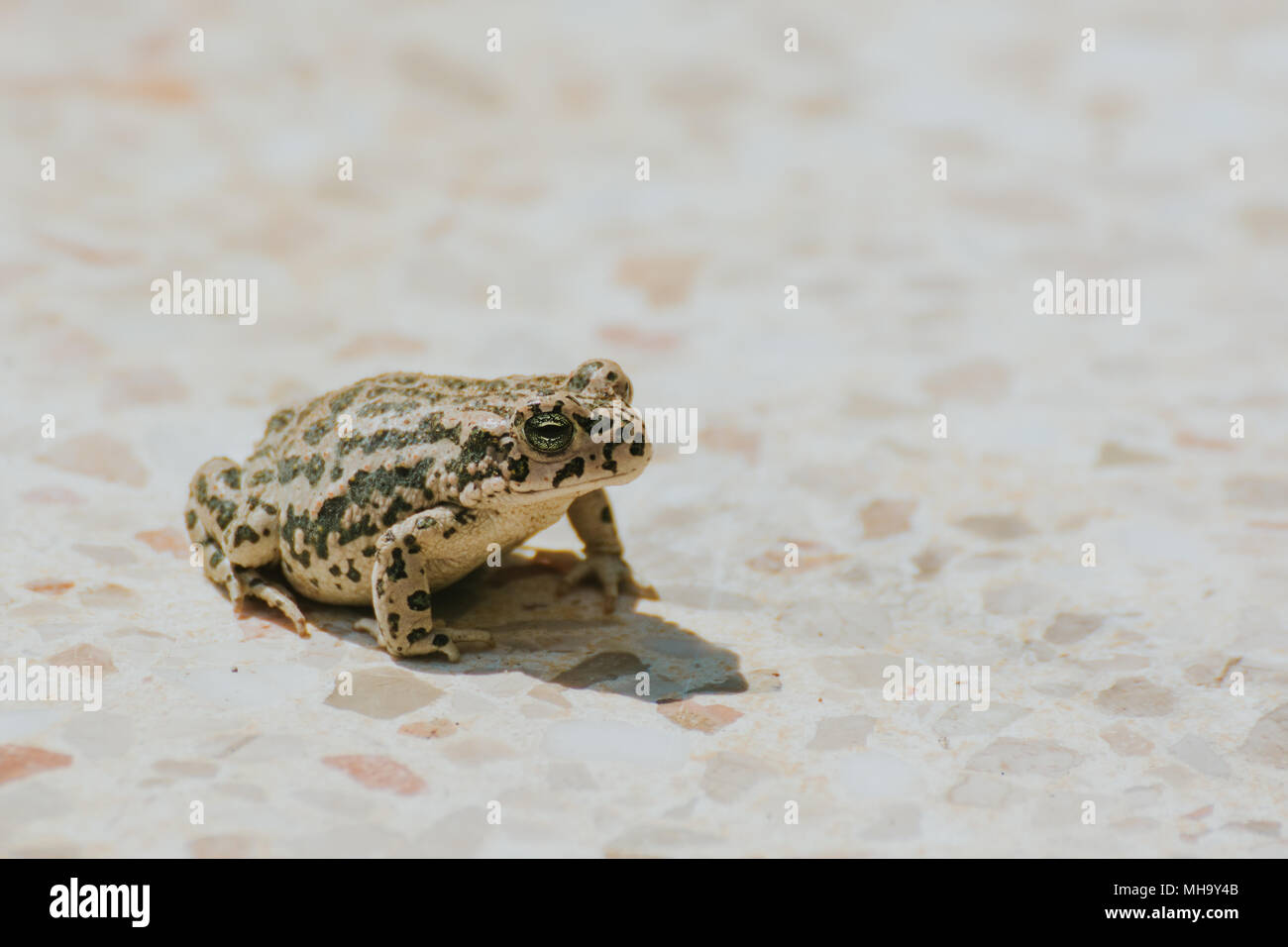 A beautiful brown frog sitting on a ground,. Early spring scenery. New life in spring. Shallow depth of field - Stock Image