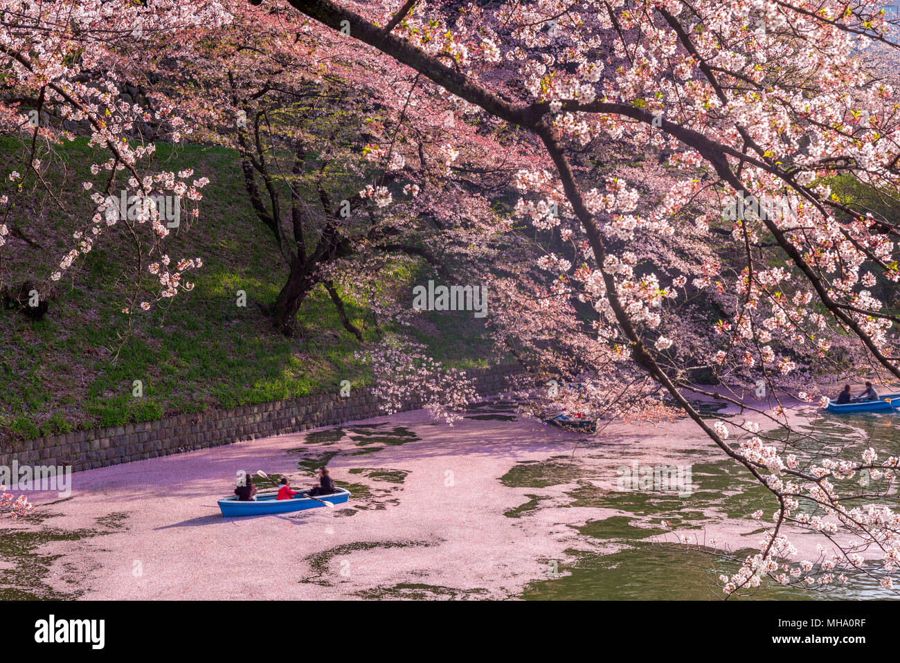 cherry blossom at chidori ga fuchi, tokyo, japan - Stock Image
