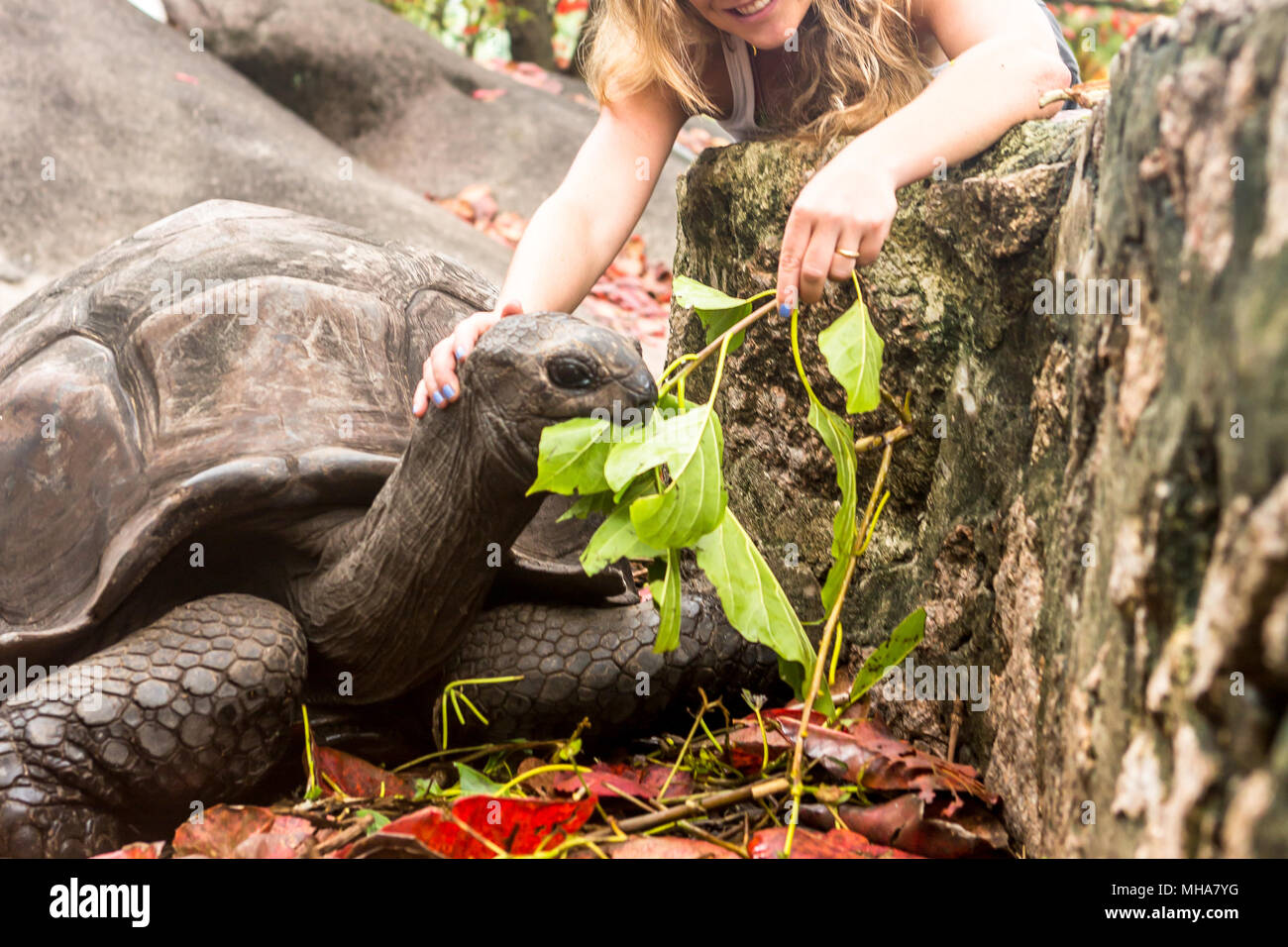 Giant turtles in Island Seychelles. - Stock Image