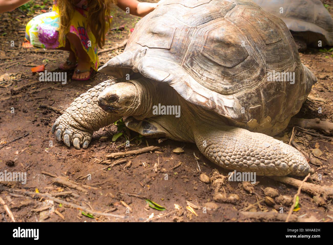 Giant turtles in Island Seychelles. - Stock Image