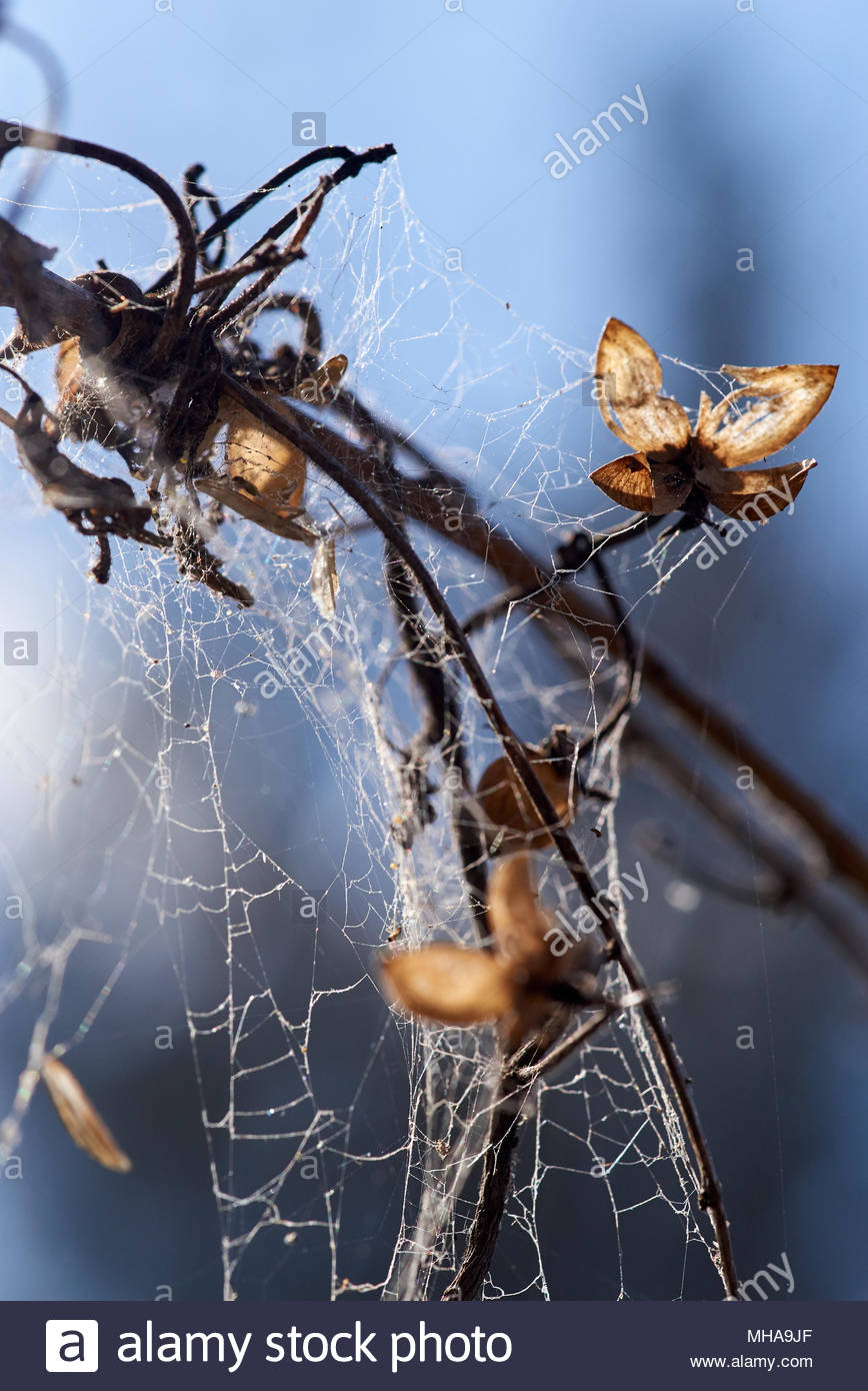 Sunlight shining through a dead plant, back-lighting the deadheads, which are completely covered in spiderweb. The background is blurry blue and grey. - Stock Image