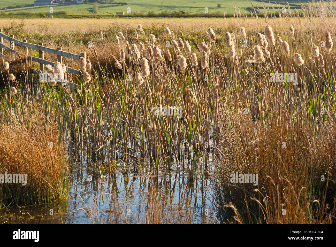 Bulrushes at Steart Marshes, Sedgemoor. Wetland saltmarsh, developed by the WWT in Somerset. Stock Photo