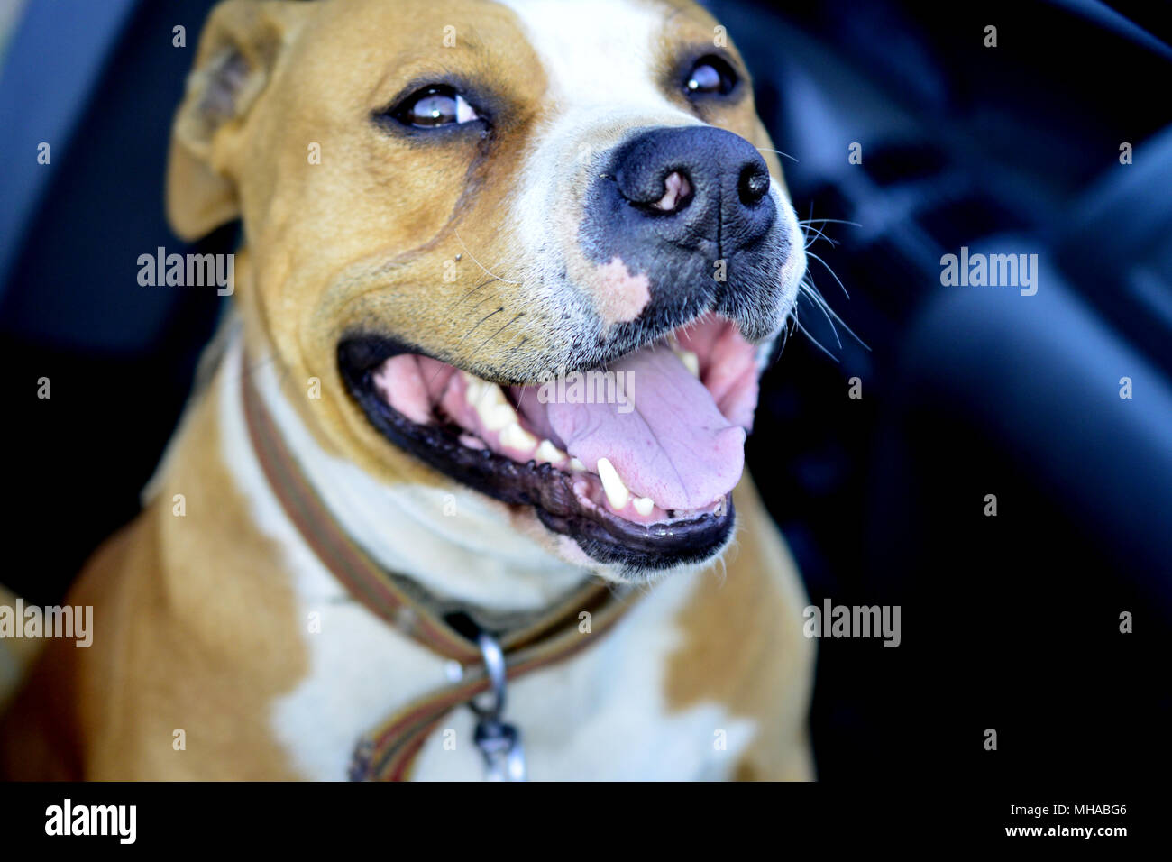 american staffordshire terrier dog portrait qith open mouth - Stock Image