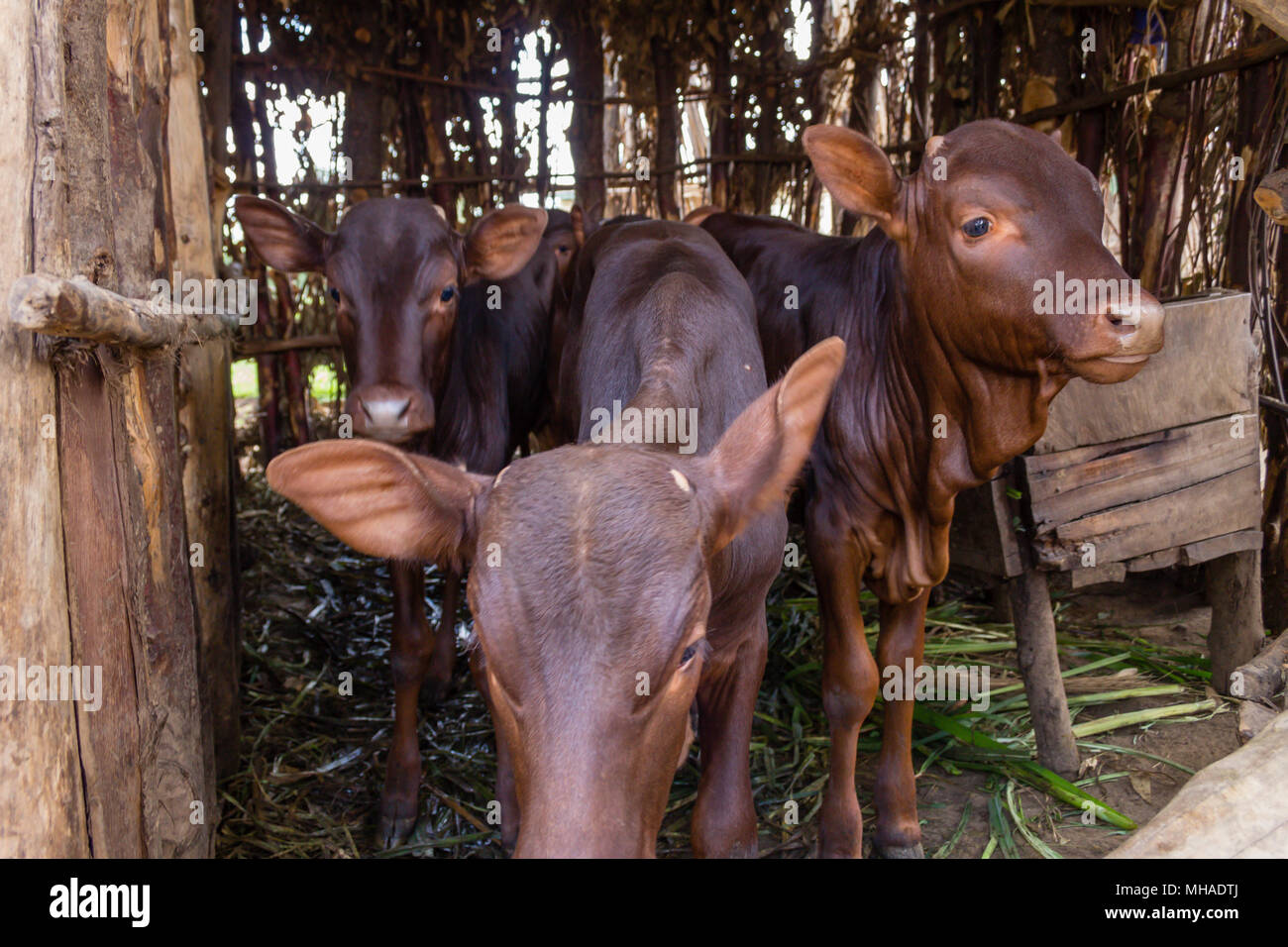 The African Long-Horned Cow (Ankole-Watusi), descended from the Ethiopian Sanga Cattle, are known as the Cattle of Kings. - Stock Image