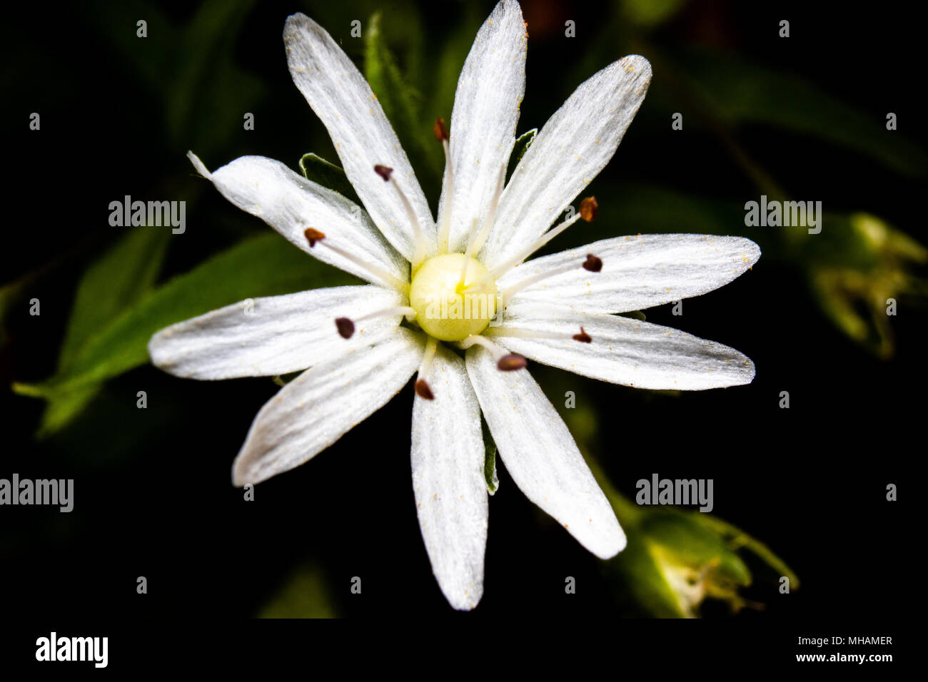 A spring wildflower is seen in this macro image taken in Central Appalachia, United States. Stock Photo
