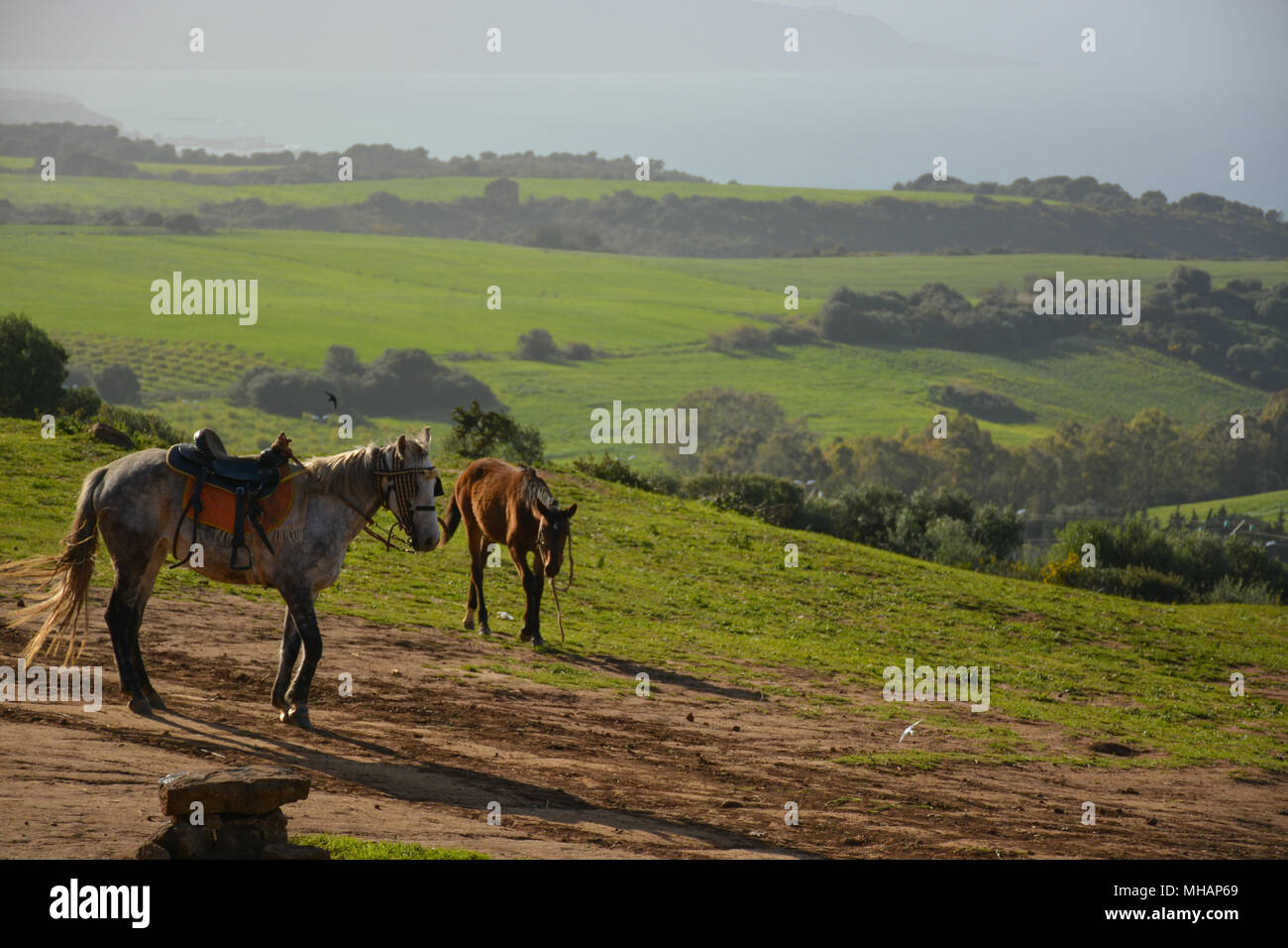 Horses in the Algerian wild nature. - Stock Image