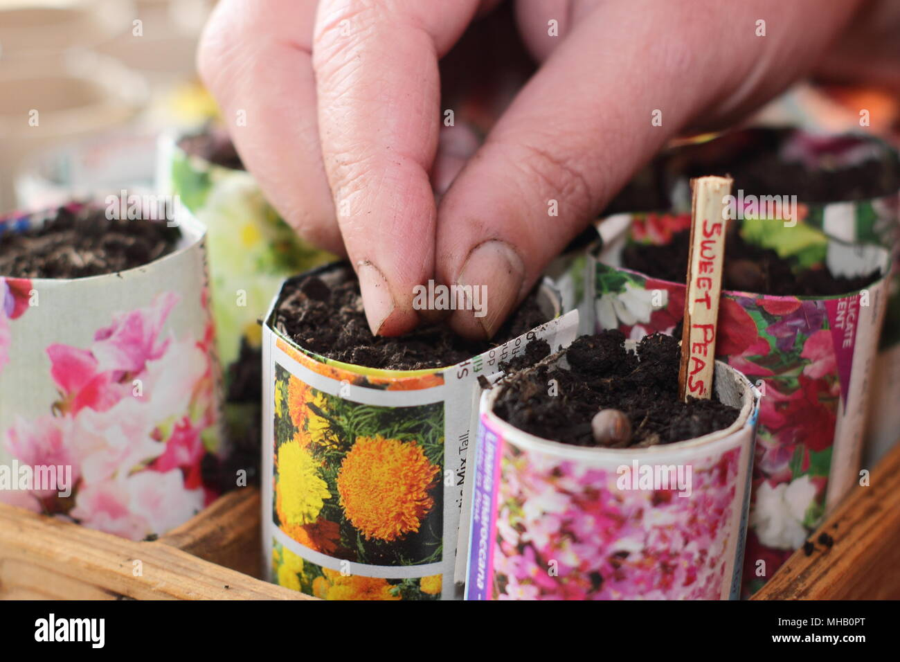 Lathyrus Odoratus Sowing Sweet Pea Seeds In Homemade Paper Pots