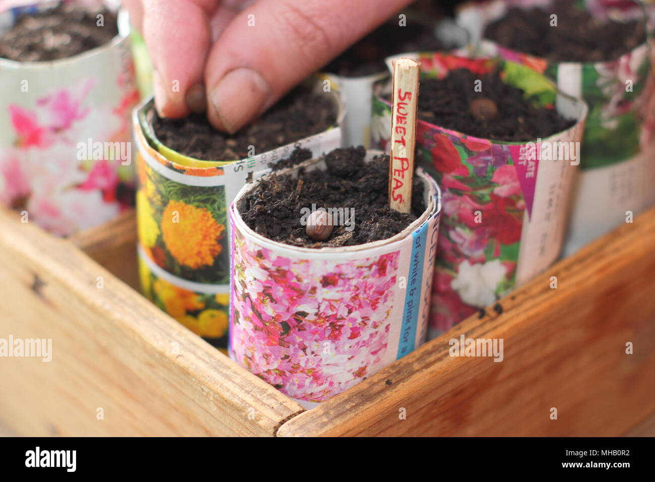 Lathyrus odoratus. Sowing sweet pea seeds in homemade paper pots labelled with a sliced twig as an alternative to using plastic in gardening, UK - Stock Image