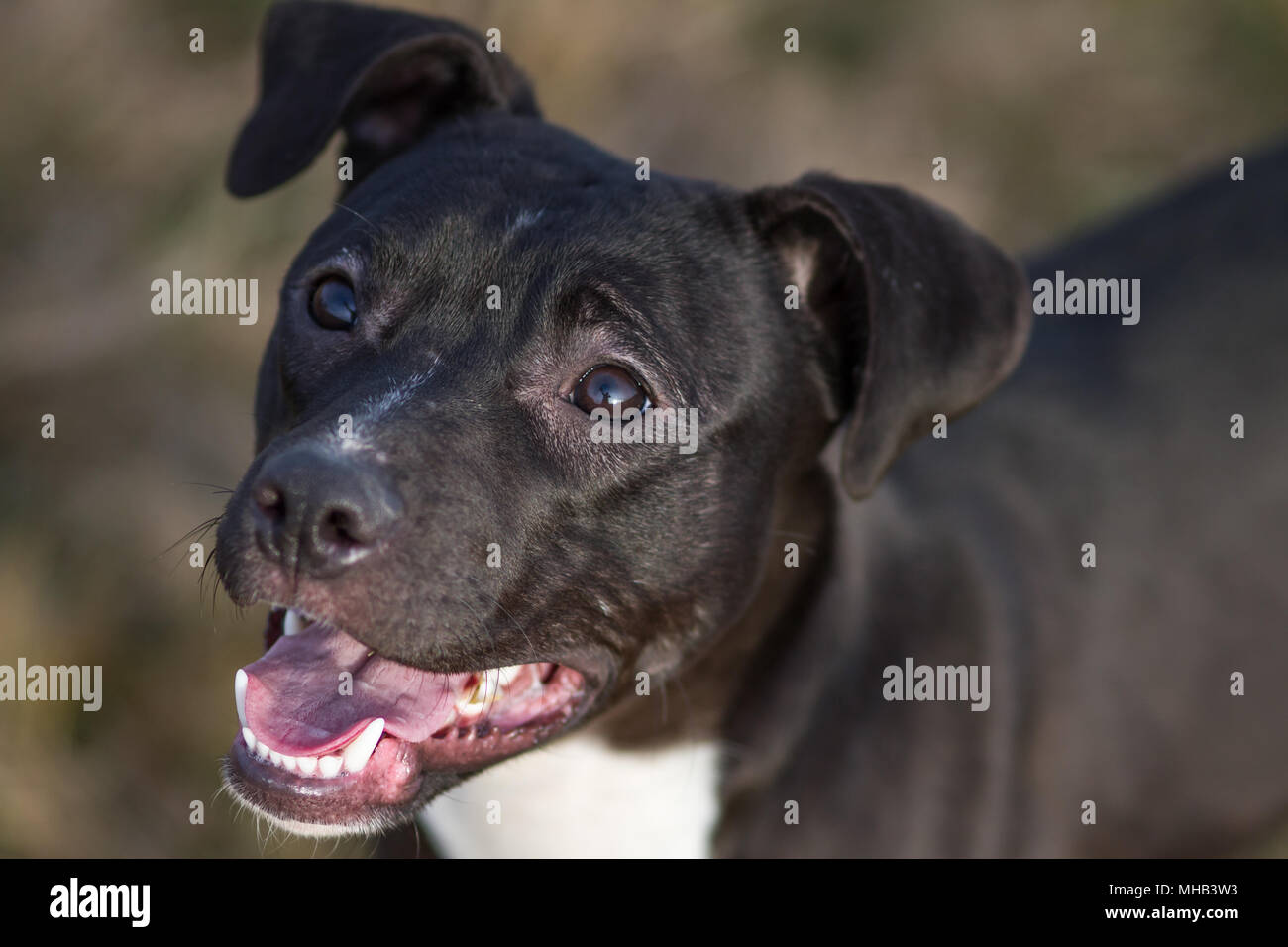 Adorable black young Pit Bull dog looking up - Stock Image