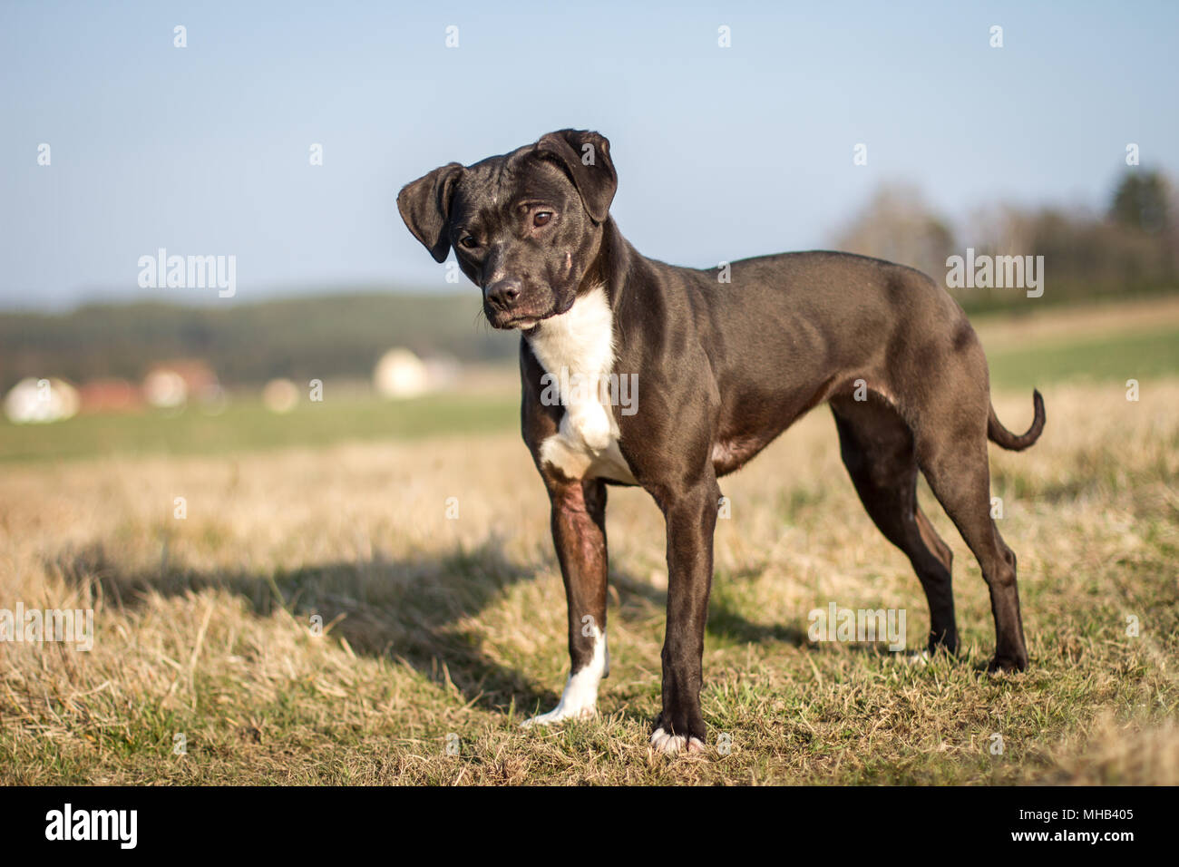 Adorable black young Pit Bull dog standing on a field - Stock Image