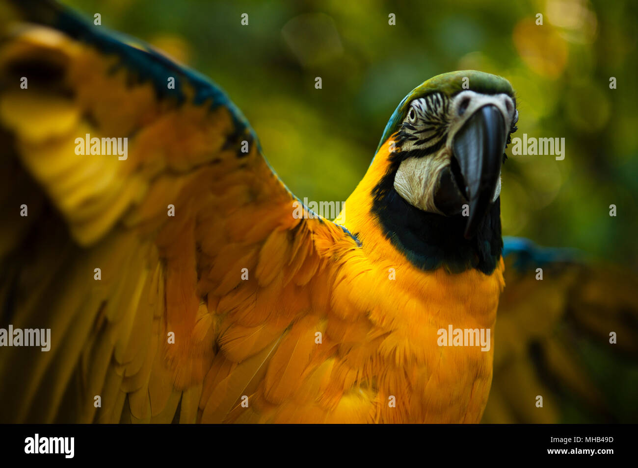 Botanical Garden Blue-and-yellow macaw spreading wings in forest ...