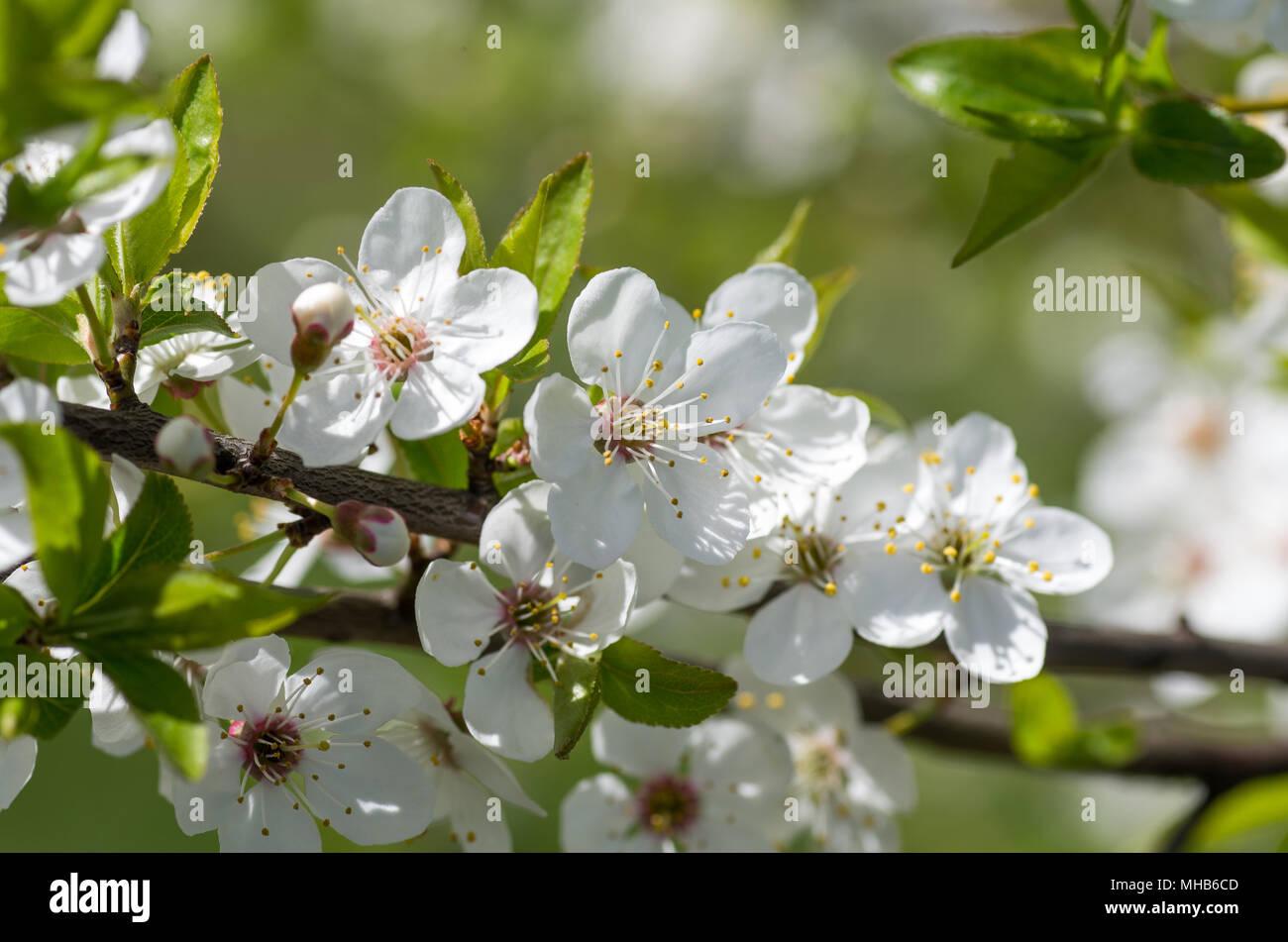 Blooming wild plum tree in daylight white flowers in small clusters blooming wild plum tree in daylight white flowers in small clusters on a wild plum tree branch stock photo 182799357 alamy mightylinksfo