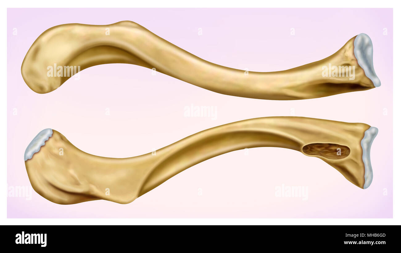 Illustration Front and side view of the human clavicle, located in the upper anterior part of the thorax. - Stock Image