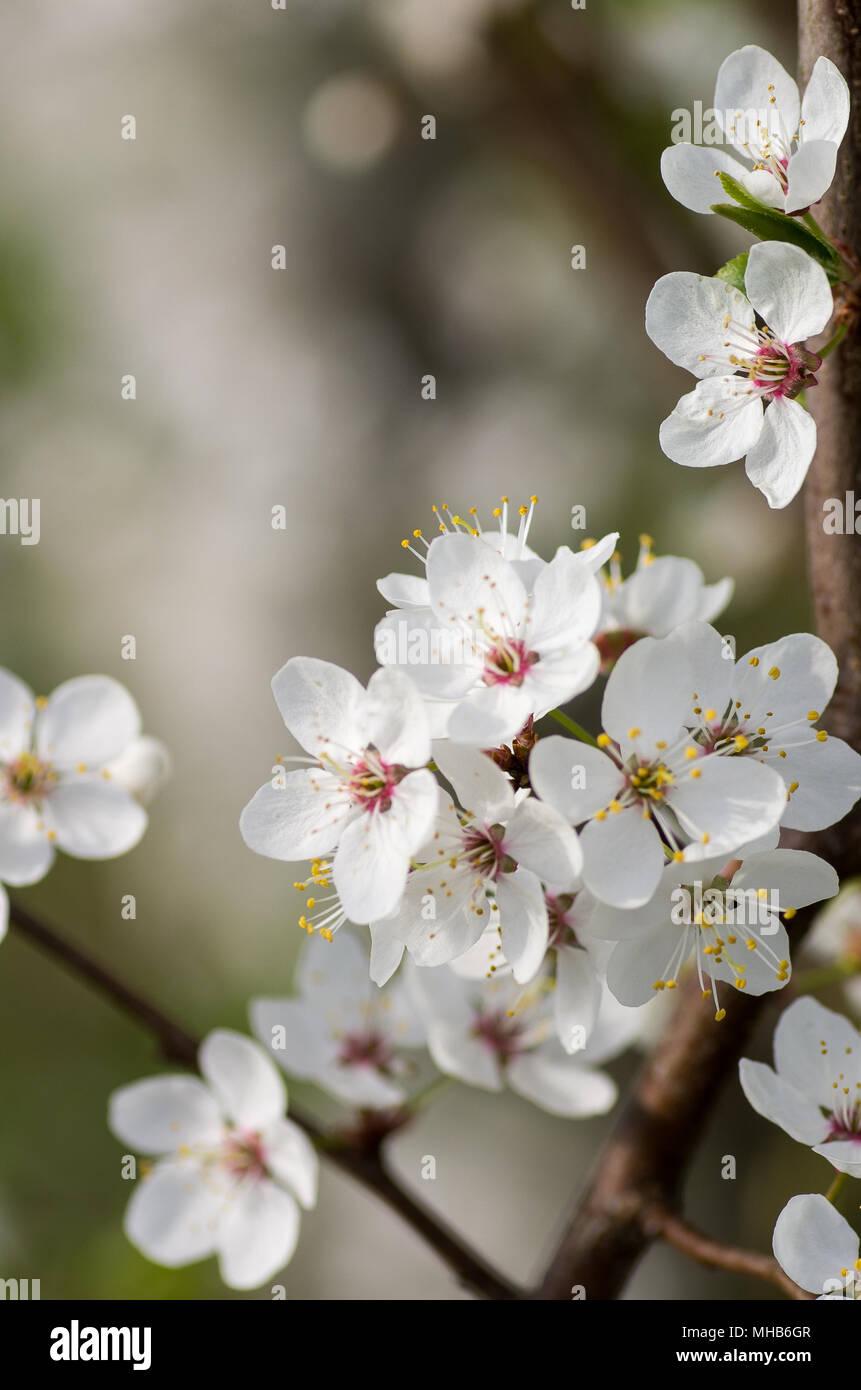 Blooming wild plum tree in daylight white flowers in small clusters blooming wild plum tree in daylight white flowers in small clusters on a wild plum tree branch mightylinksfo