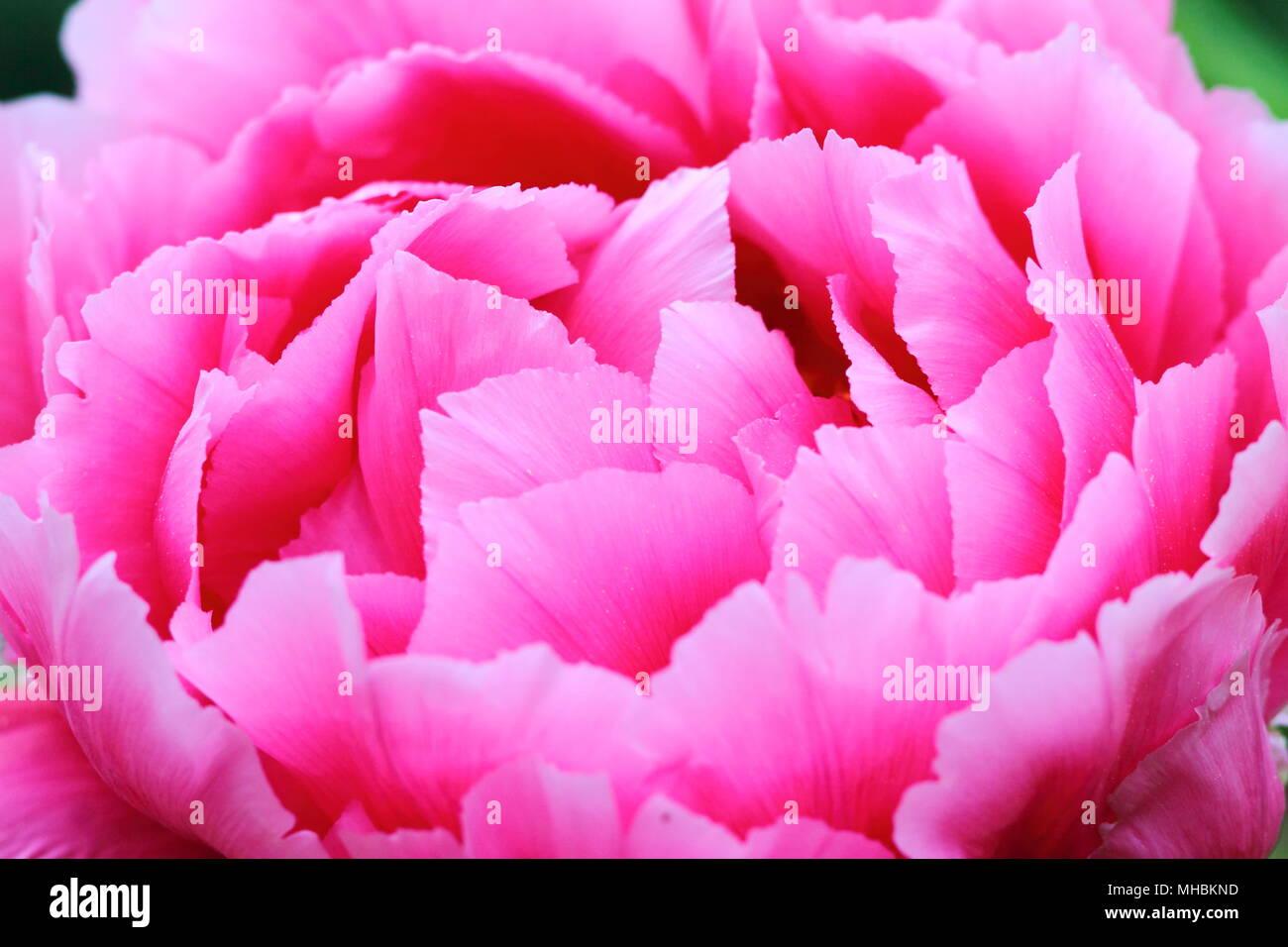 Large bright pink peony flowerhead close up. Lavish petals texture. - Stock Image