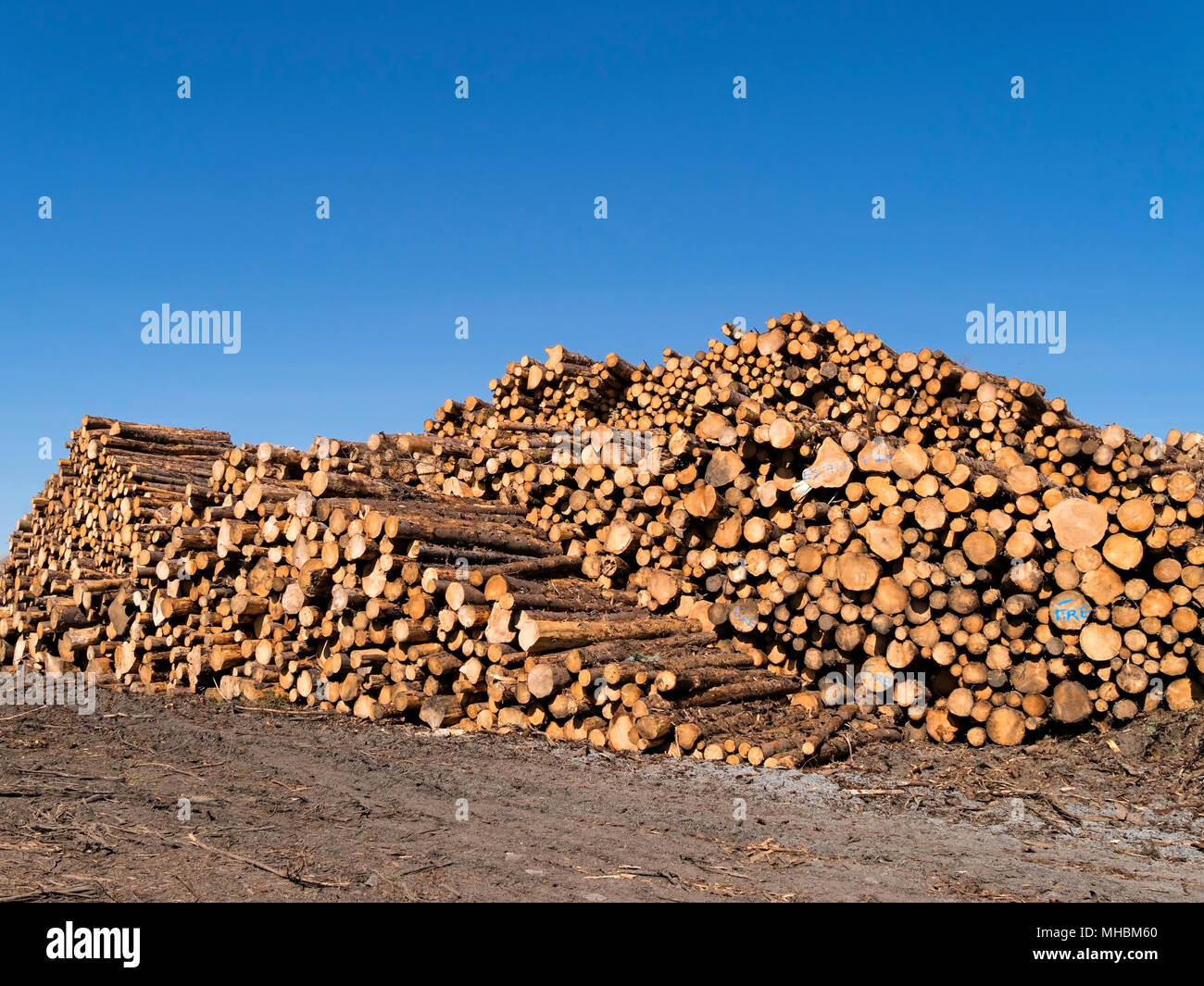 Large pile of cut freshly cut conifer timber logs with blue sky above, Torrin, Isle of Skye, Scotland, UK. - Stock Image