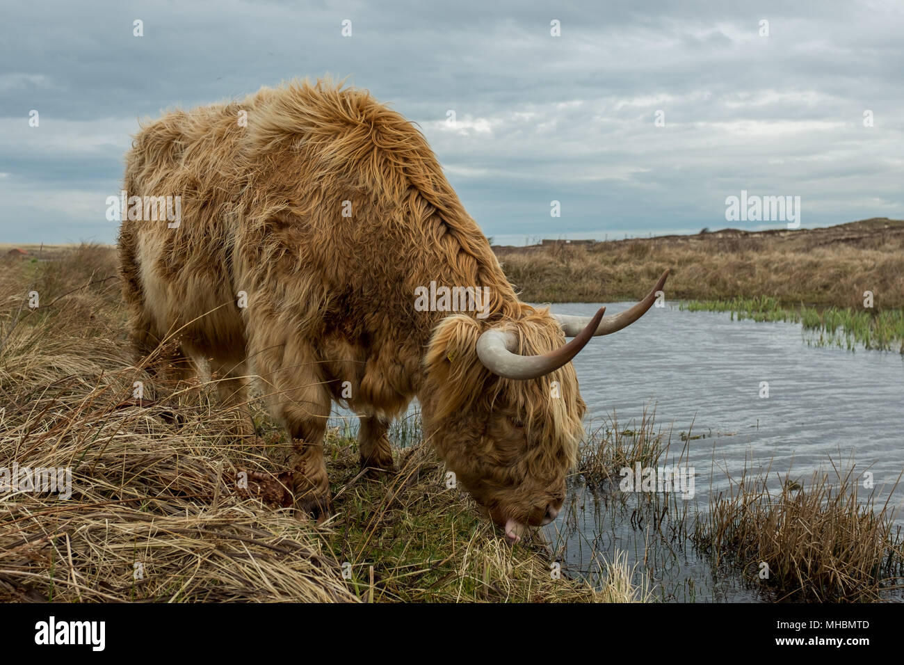 Scottish Highland cow in the Dunes of Texel, The Netherlands. - Stock Image