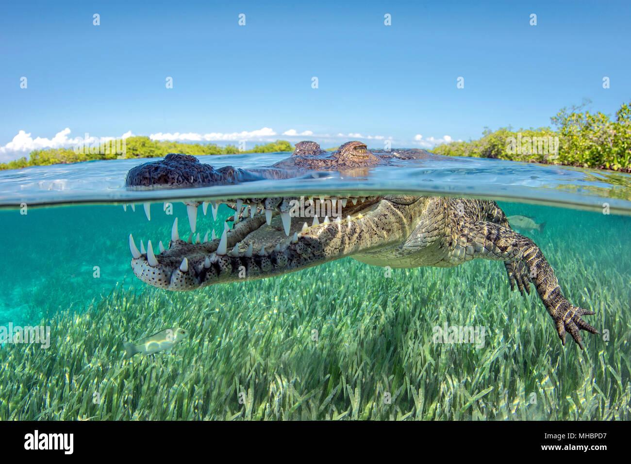 American crocodile (Crocodylus acutus), Underwater, Split-Level image, Jardines de la Reina, Cuba - Stock Image