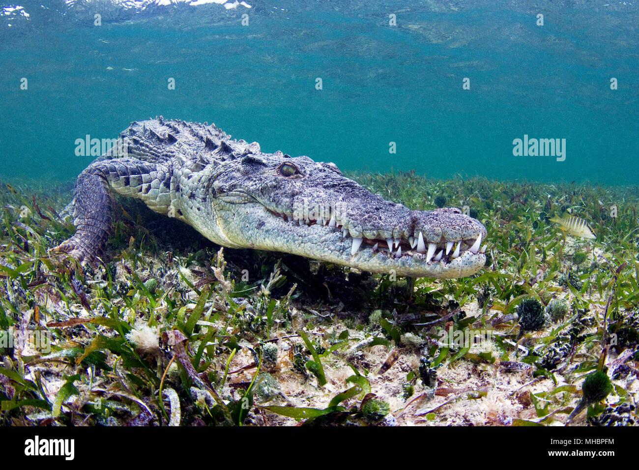 American crocodile (Crocodylus acutus), Underwater, Banco Chinchorro, Quintana Roo, Mexico Stock Photo