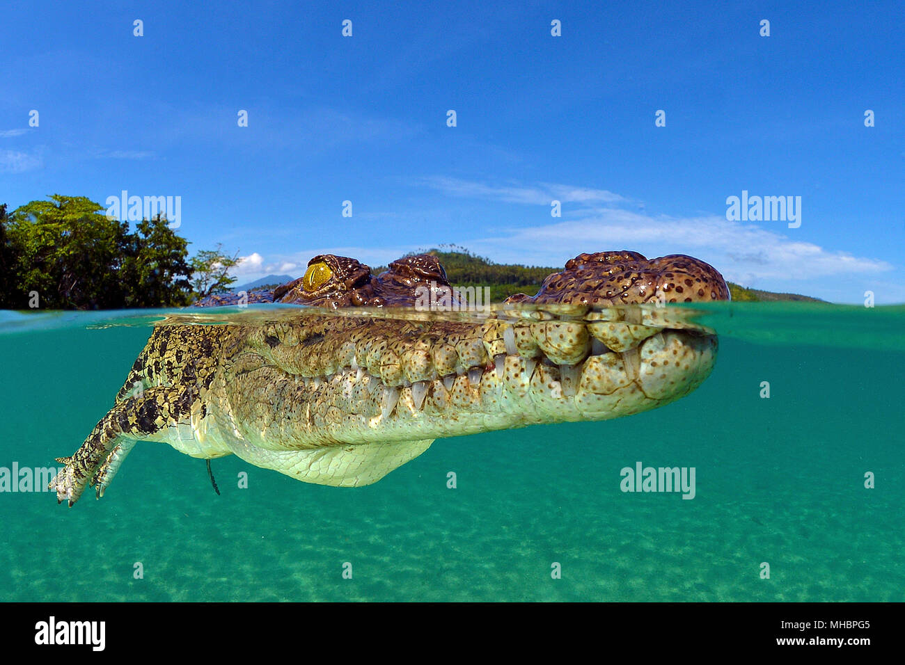 Saltwater crocodile (Crocodylus porosus), Underwater, Split-Level image, Kimbe Bay, West New Britain, Papua New Guinea - Stock Image