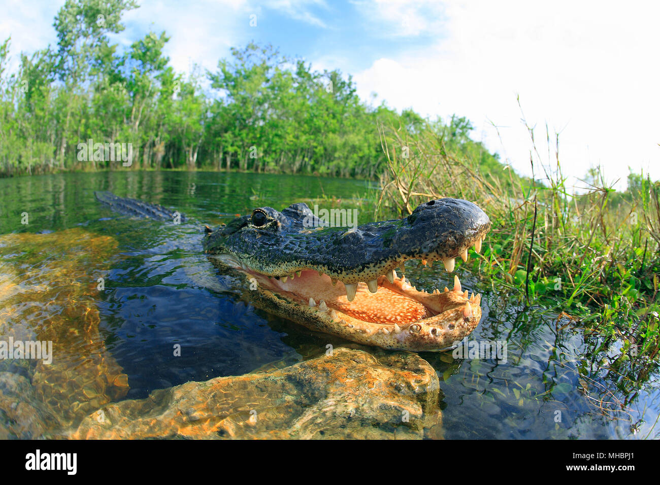 American alligator (Alligator mississippiensis), in the water, open mouth, animal portrait, Everglades, Florida, USA - Stock Image