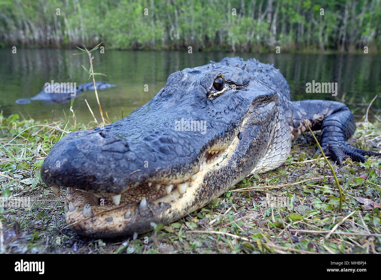 American alligator (Alligator mississippiensis), animal portrait on the shore, Everglades, Florida, USA - Stock Image