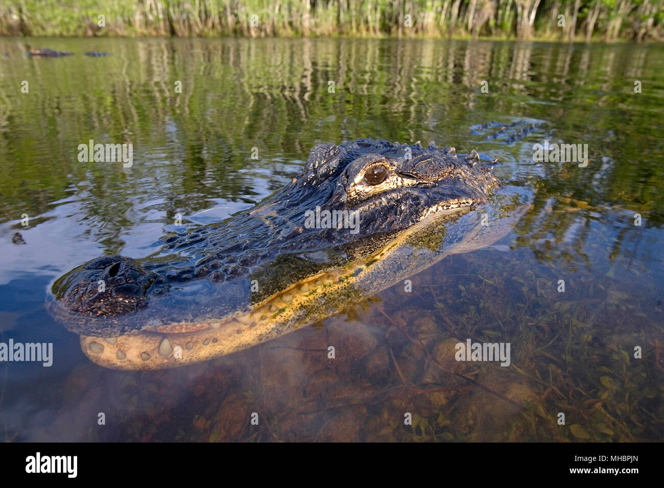 American alligator (Alligator mississippiensis), lies in the water, animal portrait, Everglades, Florida, USA - Stock Image