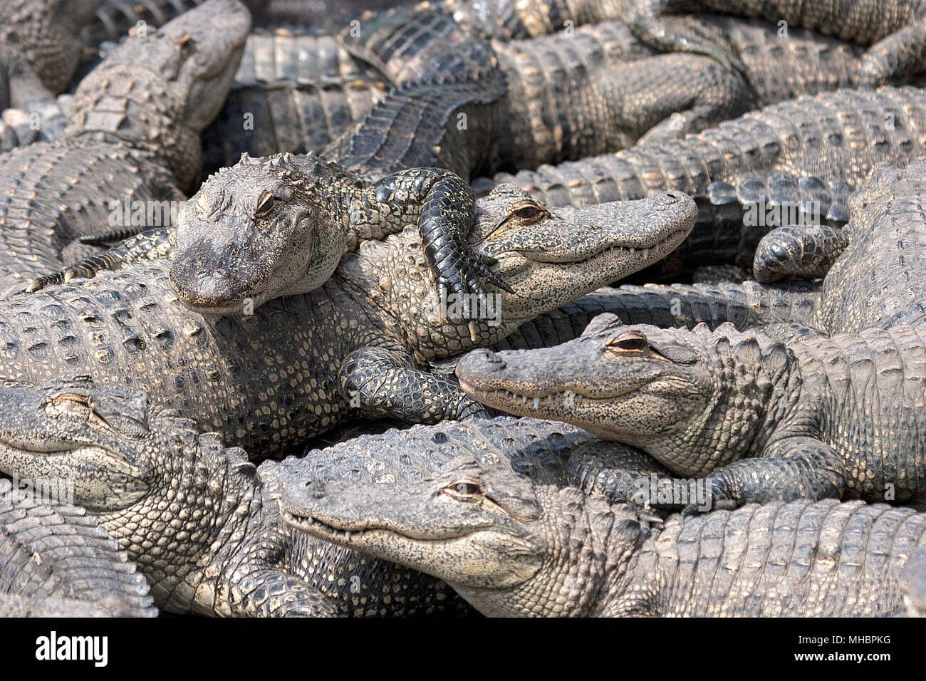 American alligators (Alligator mississippiensis), young animals one above the other, Everglades, Florida, USA Stock Photo