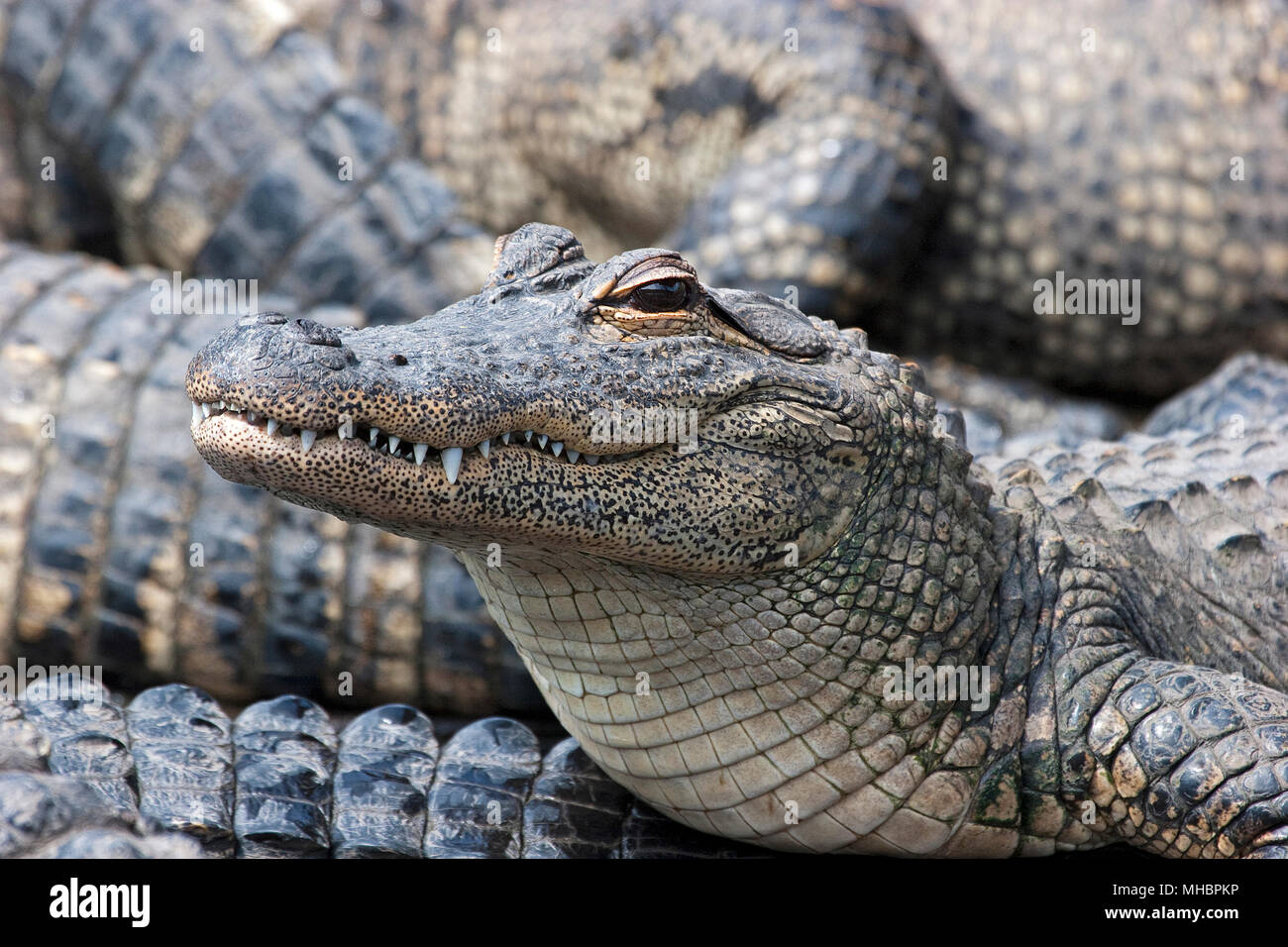 American alligators (Alligator mississippiensis), young animal, Everglades, Florida, USA - Stock Image
