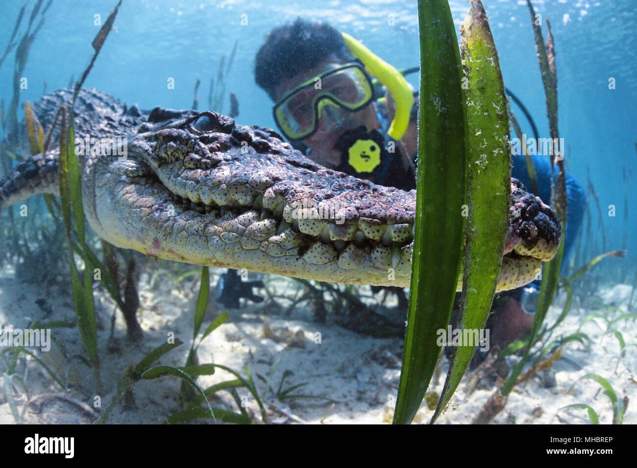 Diver and Saltwater crocodile (Crocodylus porosus), Underwater, Palau, Micronesia - Stock Image