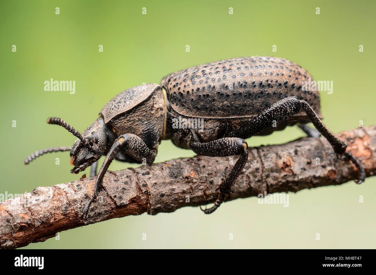 Scotobius Miliaris - Stock Image