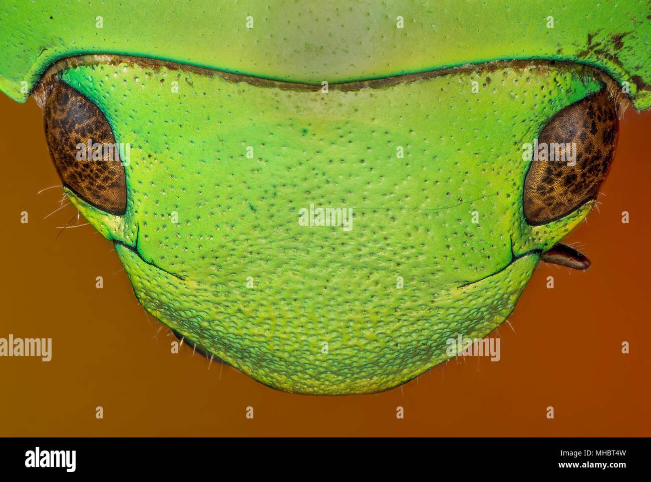 beetle head - Stock Image