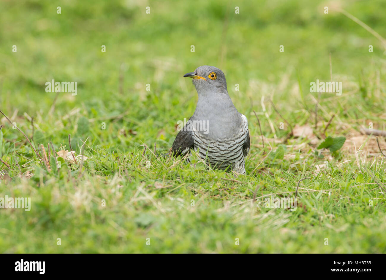 Male common cuckoo (Cuculus canorus) foraging on the ground - Stock Image