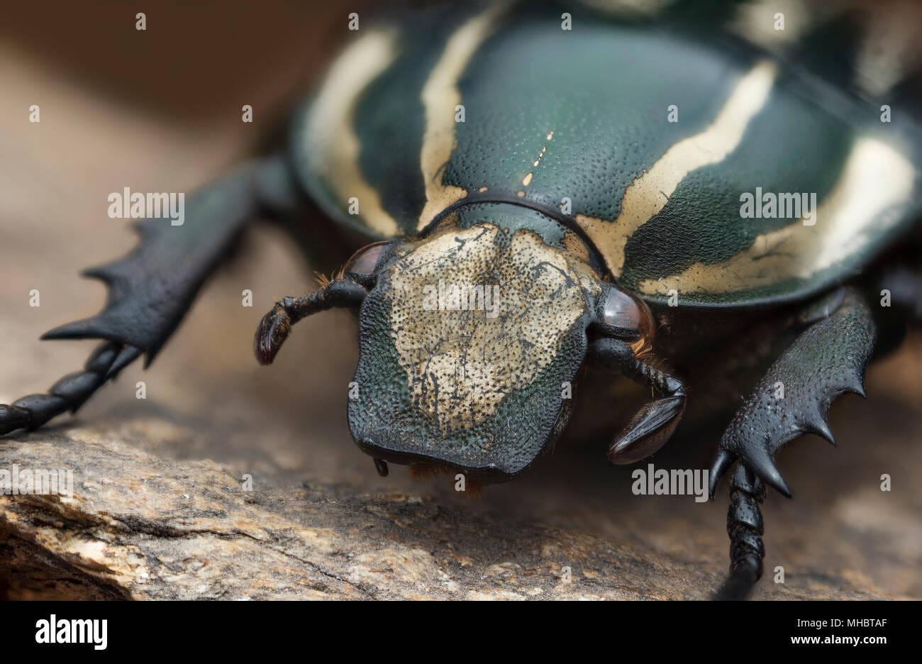 Goliathus - Stock Image
