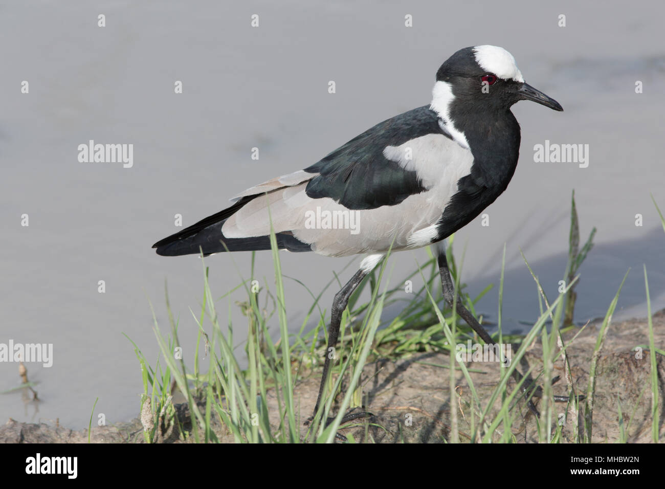 Blacksmith Lapwing or Plover (Vanellus armatus). Okavango, Botswana. East and central Africa. - Stock Image