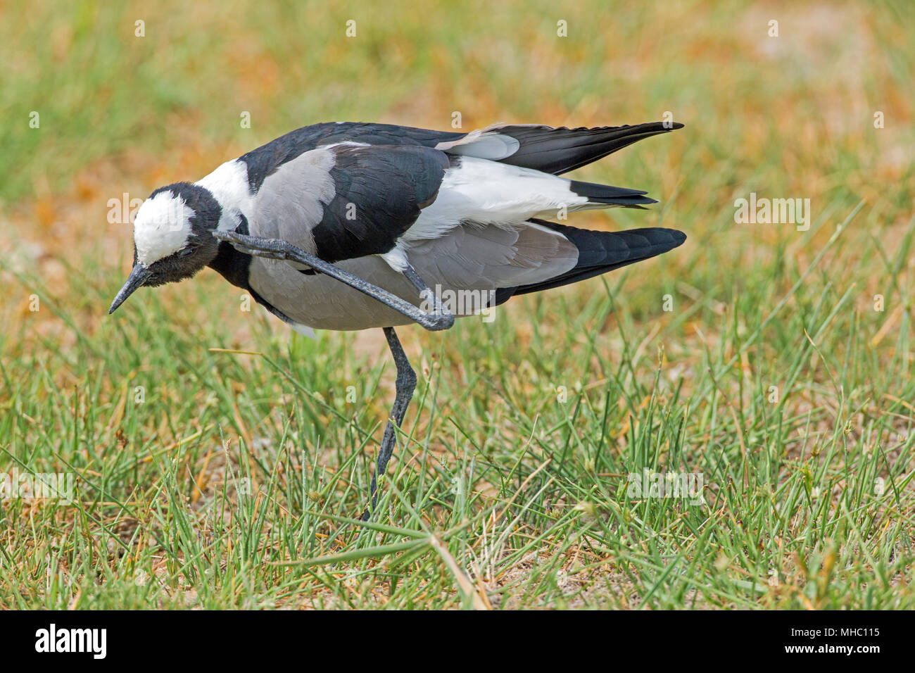Blacksmith Lapwing or Plover (Vanellus armatus). Scratching head using left leg and foot. Note how leg appears between upper and lower sections of the - Stock Image