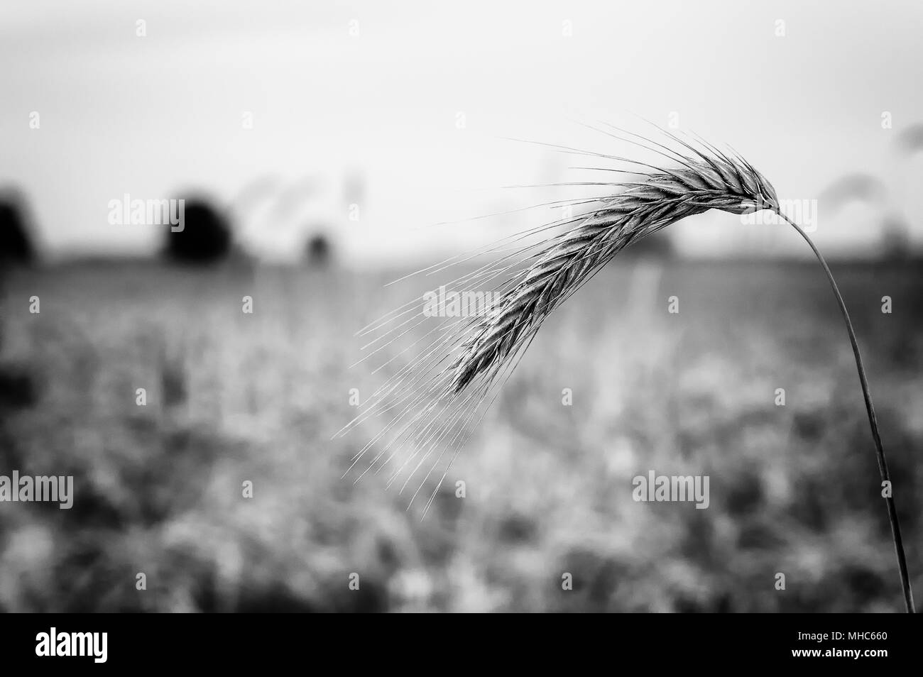 A Day with Wheat - Stock Image
