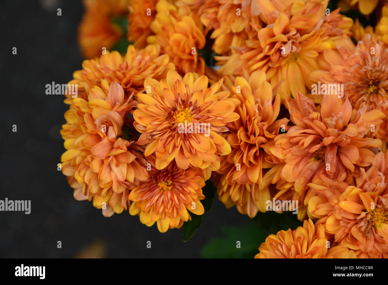 Orange, Delicate, Pretty Marigold Flowers Stock Photo