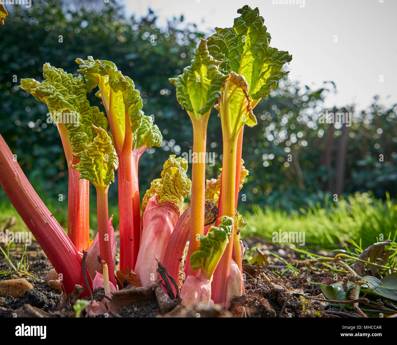 New rhubarb shoots sprouting in a garden in spring Stock Photo