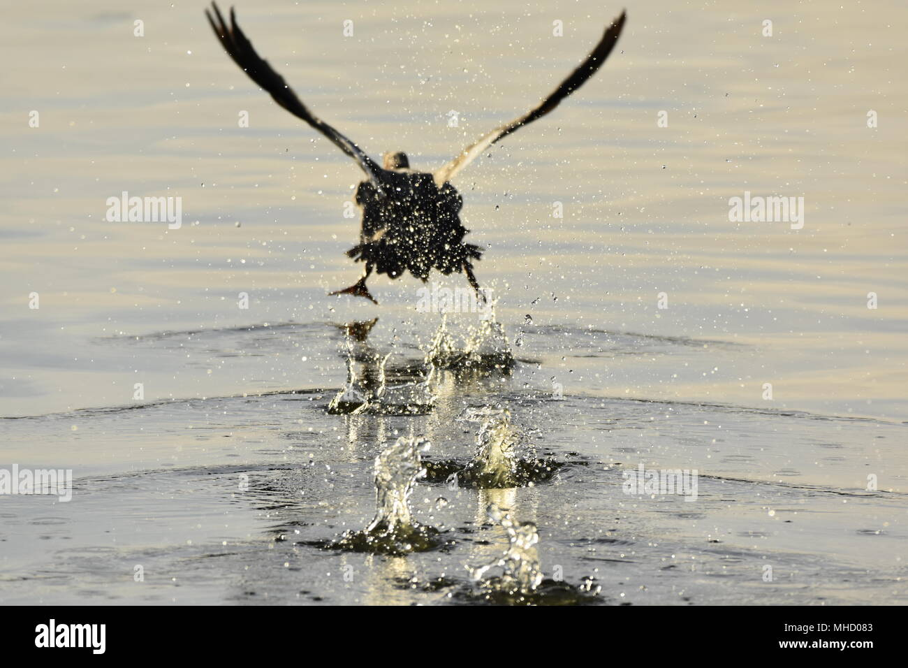 A duck lifting off the surface of the pond, splashing water and sending ripples all over! Las Gallinas Sanitary Ponds, San Rafael, CA. - Stock Image