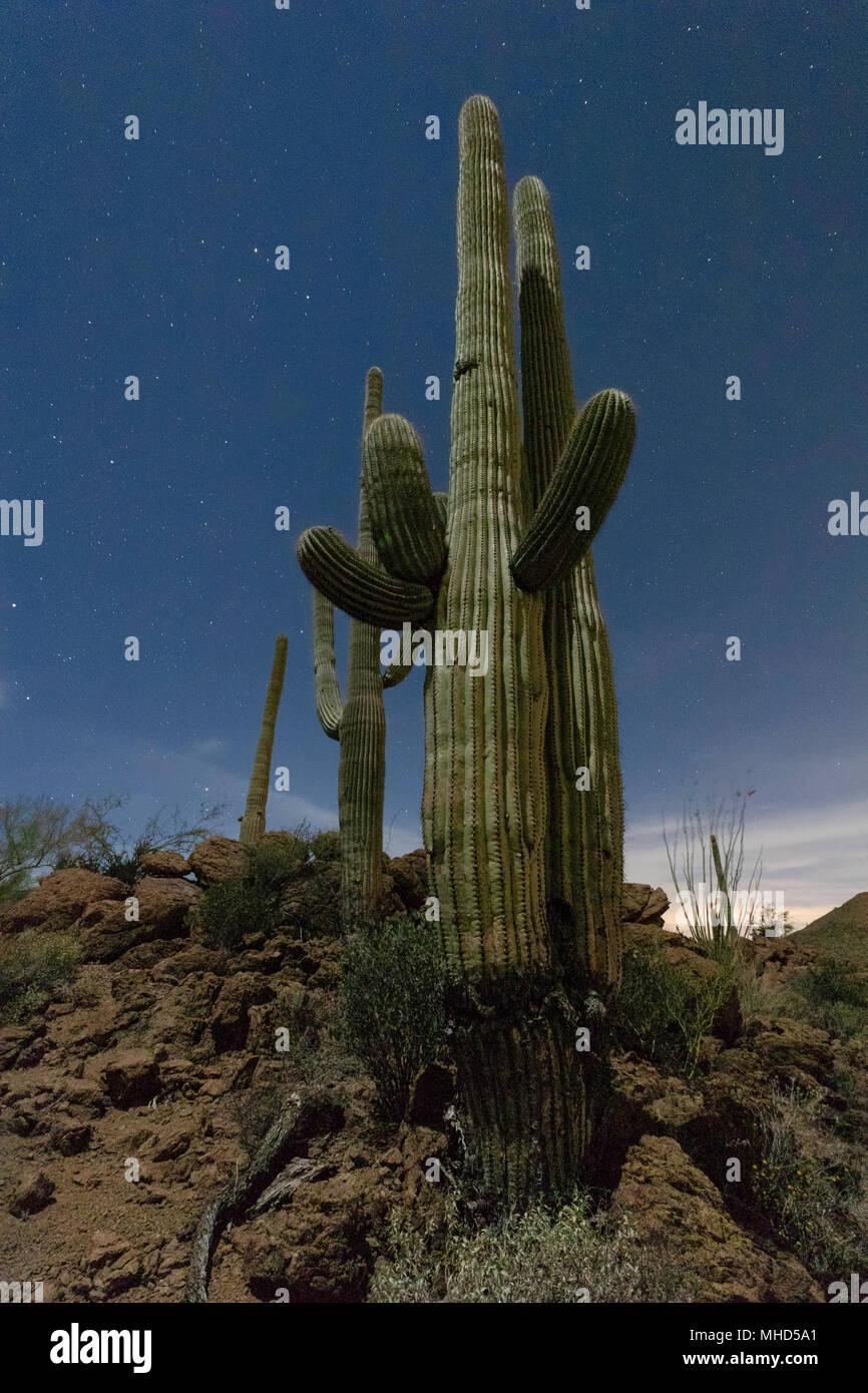 Saguaro cactus (Carnegiea gigantea) with stars and moonlight, Tucson, Arizona - Stock Image