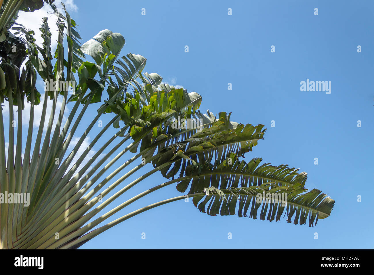 Beautiful fan tree against summer blue sky. . This Ravenala aka traveller´s Palm tree because it has several pockets of water. - Stock Image