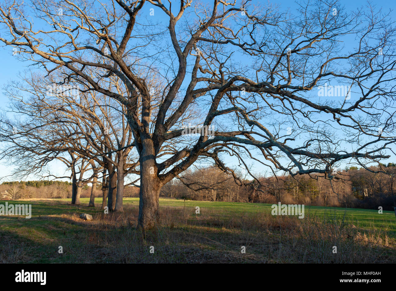 Line of leafless oak trees in a lowland meadow, at sunset. Charles River Peninsula, Dover, MA - Stock Image