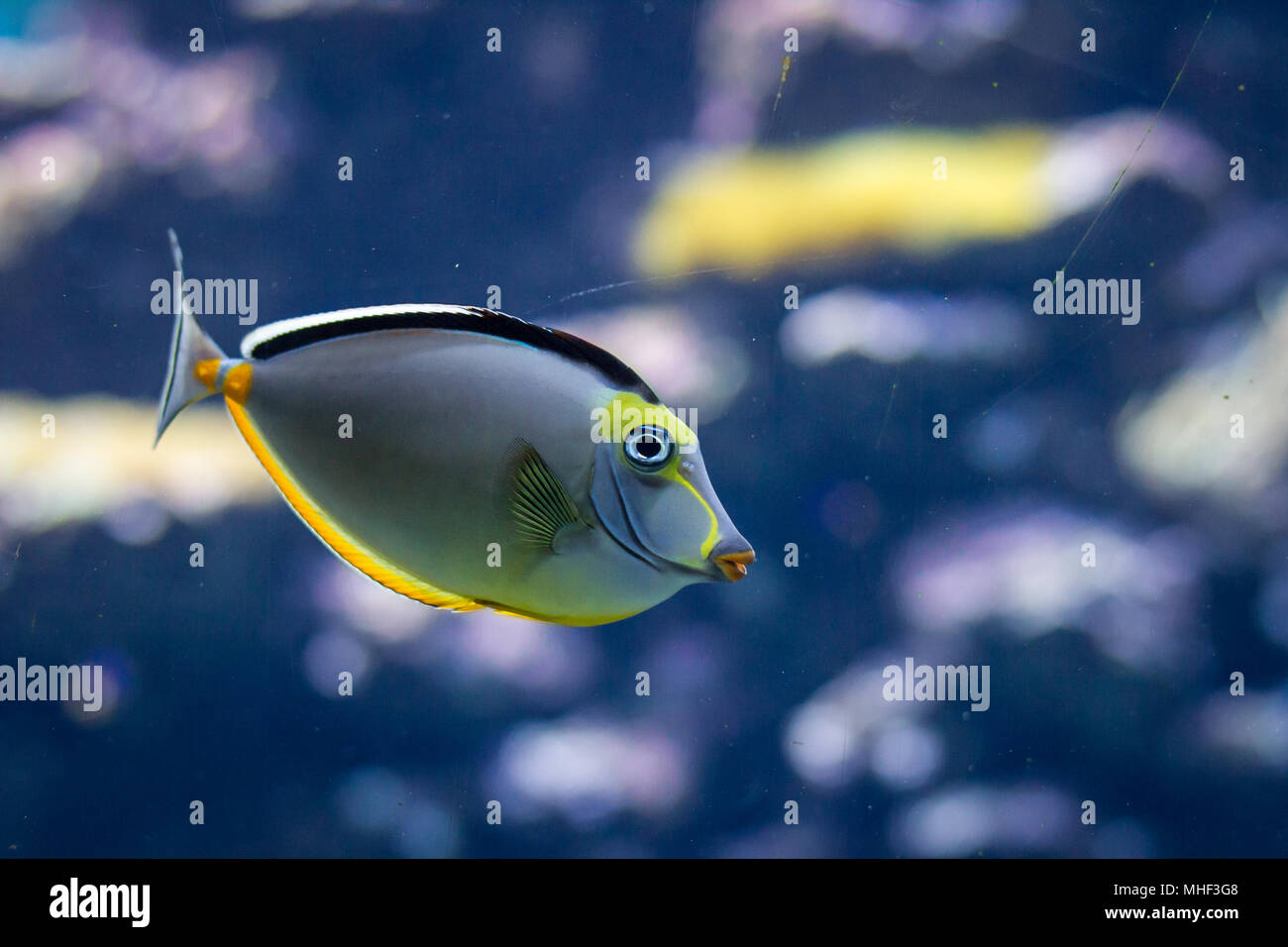 Fish in an aquarium - Stock Image