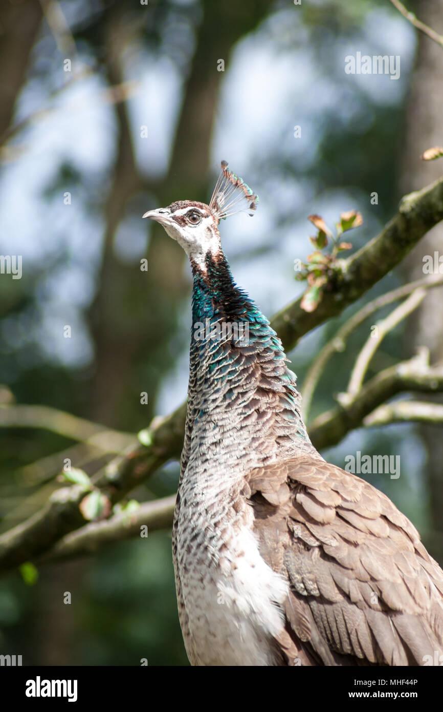 Peahen, female peafowl (Pavo cristatus) - Stock Image