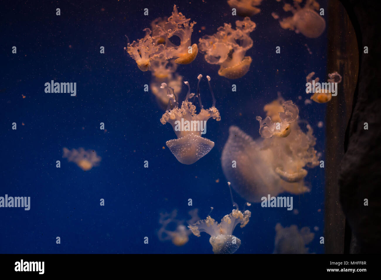 Jellyfish in captivity - Stock Image